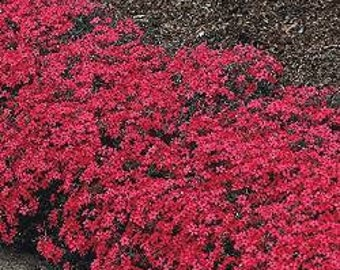 Phlox Scarlet Beauty 50 Seeds - Blooming whole summer long