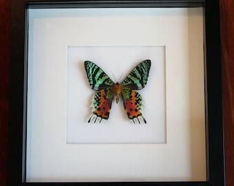 Sunset Moth Display