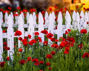 Alsatian Red Poppies - Castroville, Texas - Poppy - White Picket Fence - Photography - Nature Photos - Springtime Flowers