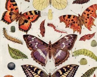 1922  Butterflies Moths Caterpillars Natural History Lepidoptera Plate to Frame