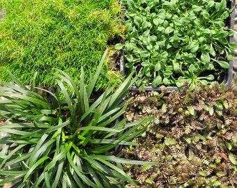 Miniature or Fairy Garden Flowering Plants, Moss, Daisey, Platt's black, Mondo grass Set of 4, Hardy, Outdoor 4 Containers or Garden Bed