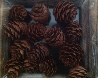 Collection of 100 Natures Tiny Larch Cones - Forest Treasures - Holiday Pine Cones Wedding Pine Cones