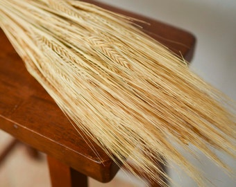 Dried Barley Bunch, golden barley, dried grains, dried wheat, wheat bunch, wheat bundle,