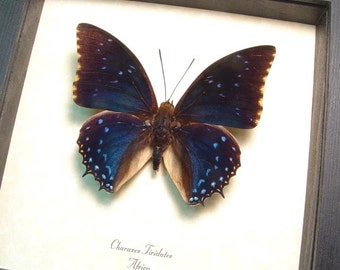 Charaxes Tiridates The Common Blue Charaxes Real Framed Butterfly 7793