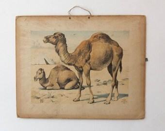 Original school charts of camels (rare) , zoology, school chart, Alfred Jacobsens 1995