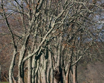 Trees: The Chorus Line - ready to take their bows (boughs) in sequence