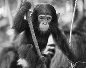 Baby Chimpanzee Photo, Bl...