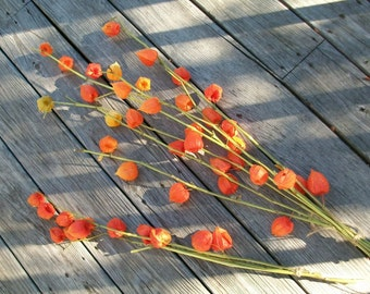 One Long Stem Bunch Bouquet of Beautiful Homegrown Rustic Chinese Lanterns