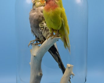 taxidermy of 2 birdss in one dome mounted with base free shipping