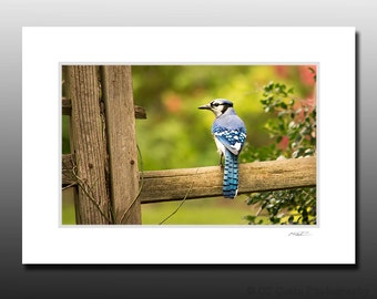 Blue Jay Matted Print, Bird Photography, Cubicle Wall Art, Dorm Room Decor, Stocking Stuffer gifts, Ready for Framing, Fits 5x7 inch Frame