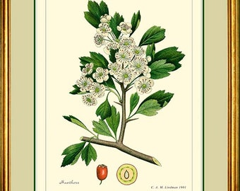 HAWTHORN - Vintage Botanical 11x14 or 12x16 print reproduction   286