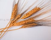 Burnt Orange Wheat Stems for crafting
