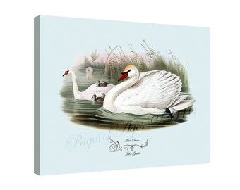 """Canvas Print - Muted Swan  by John Gould (1804-1881) - 16"""" x 20"""" - On Stretched Canvas"""