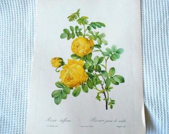 Framed Rose Print Yellow vintage Rosa Rosier Large