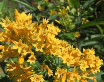 7 Night Blooming yellow jasmine Seeds-1343