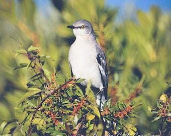 Mockingbird, Song Bird, Nature Photography, Glossy, 8x10, Fine Art Photography, Matted