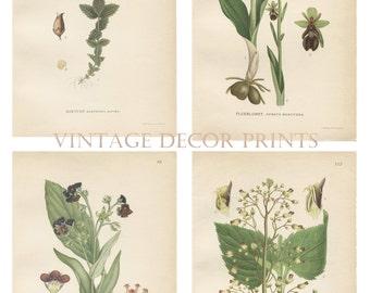 Botanical Wild Flower Prints. Set of 4 Antique Individual Purple Countryside Plants C1920 Ideal Gardening Gift Countryside flower Prints.