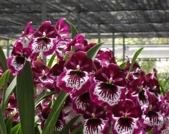 Red Alert! Miltoniopsis Lennart Karl Gottling orchid, near blooming size