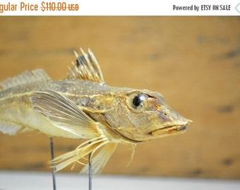 SALE Vintage taxidermy fish mounted fish real fish sealife