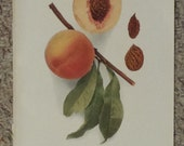Vintage early 20th century Lithograph BRIGDON PEACHES book illustration