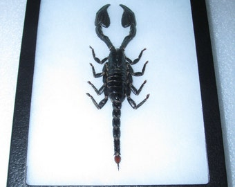 Real african emperor scorpion framed arachnid