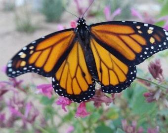 Art Print Monarch Butterfly