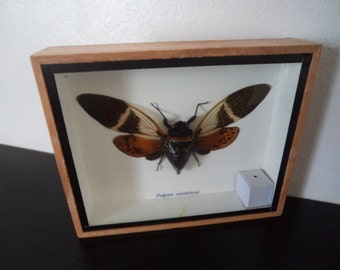 Real Cicada Moth Boxed Insect Display Fulgora Candelaria Taxidermy Entomology