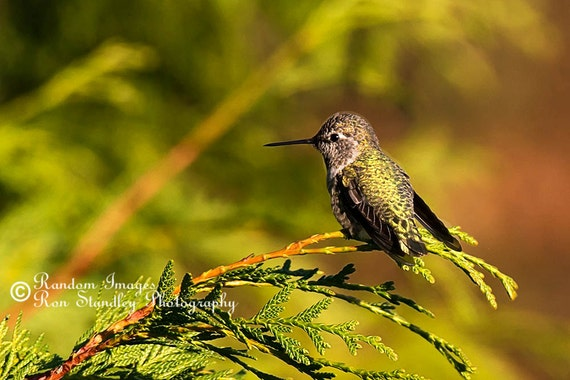 Anna's hummingbird sitting on a branch nature photograph printable art