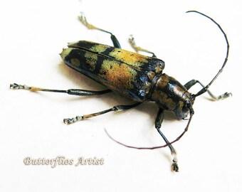 Real Colorful Long Horned Beetle Glenea Sarasinorum In Museum Quality Shadowbox