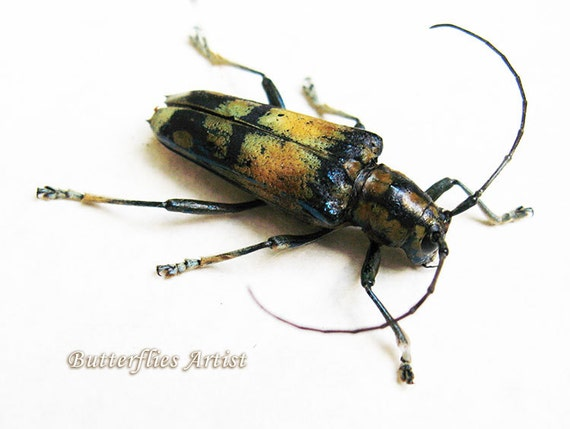 Colorful horned beetle - photo#1