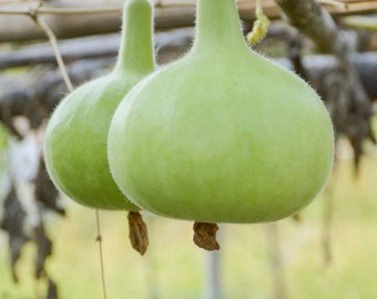 Tinda Indian Gourd (Lagenaria siceraria)