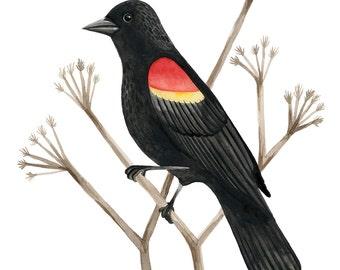 redwing blackbird archival inkjet print of watercolor illustration 8x10