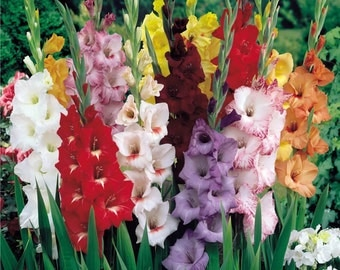 Mixed Gladiolus Flower Bulbs - 10 Bulbs Assorted Colors - Top Quality Bulbs