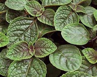 "Violet Foliage ""Nico"" Plectranthus Starter Plant"