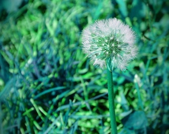 A Magical Blue-Green Dandelion Photo, Dandelion in the Grass, Fairyland, Dandelion in the Garden Photo Art, Cool Wall Art, 8 x 10 print
