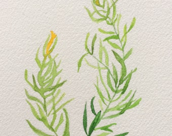 Original Watercolor Herb Paintings