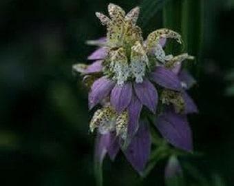 50+ Spotted Bee Balm Monarda / Perennial Flower Seeds