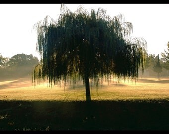 Willow Tree Faces the First Rays of Hazy Morning Sunlight