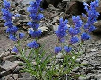 Penstemon- Showy Blue - 100 seeds-