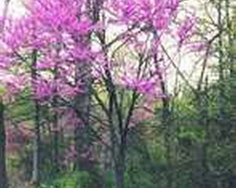 Red Bud Tree-Northern- 20 Seeds