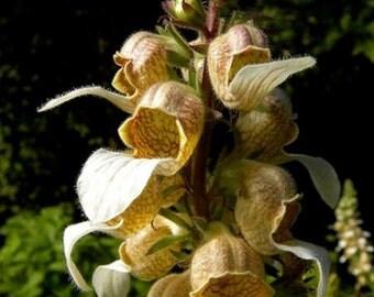 Foxglove Trojana-Helen of Troy * Willow-Leaved!! 15 Seeds