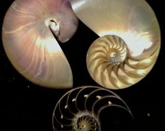 3 Cut Pearlized Nautilus Seashell, Sliced Seashells, Sliced Nautilus, Wholesale Nautilus Seashells, Nautilus Shell