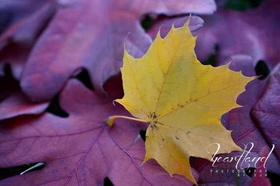 Large Gold Leaf, Oversized Fall Art, Autumn Photography, Burgundy and Yellow, Macro Photo, Detailed Leaves, Big Pictures, Extra Large Art