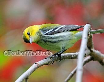 Black Throated Green Warbler Pic | Colorful Fall Bird Photography | Autumn Wildlife | Curious Songbird Picture | Bird Watcher Wall Art Print
