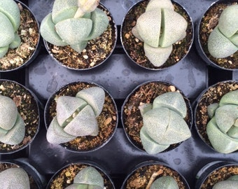 Small Succulent Plant Green Split Rock Pleiosspilos Nelii   Looks like rocks growing in your terrarium!