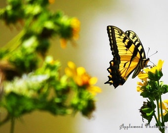 Yellow Majesty (Yellow) (Butterfly) (Summer) (Bugs) (Monarch) (Yellow Flowers)