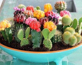 Cactus Seeds (Cactaceae Mix) 50+seeds mixed Seeds