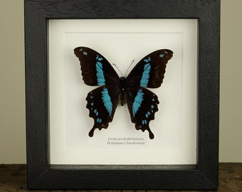 Horniman's Swallowtail Butterfly in Box Frame (Papilio hornimani)