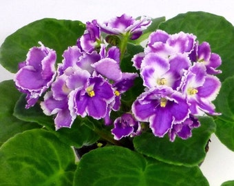 "African Violet ""Gauguin"" /Optimara/young rooted plant"