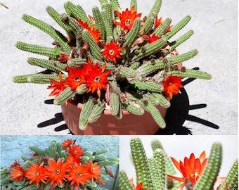 Lobivia Chamaecereus Sylvestris * Peanuts Cactus * RARE * Easy Cactus To Grow * 10 Seeds